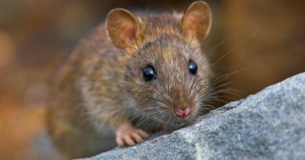 cách đuổi chuột chui ra khỏi nhà