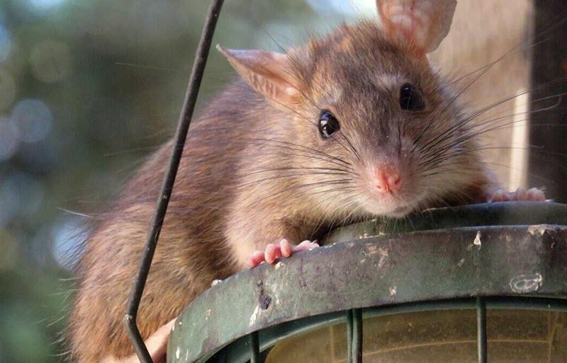 Phản ứng của chuột khi thấy tỏi